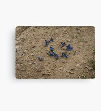 Enchanting Butterflies - Exquisite Sapphire Clusters on the Ground Canvas Print