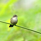 Vervain Hummingbird in the Dominican Republic by Heather Pickard