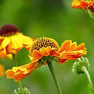 Day's Eye! - Black Eyed Susan - Cone Flower NZ by AndreaEL