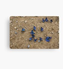 Enchanting Butterflies - Dainty Sapphires Scattered on Rough Ground Canvas Print