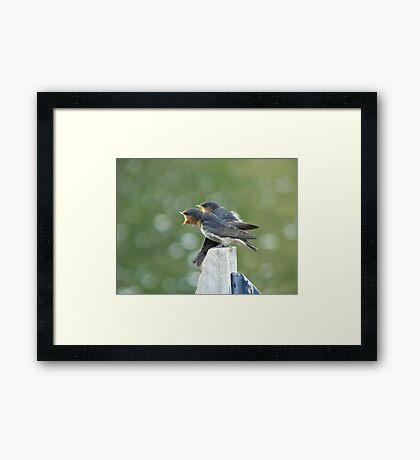 Me..ME...MEEE.... First!!! - Welcome Swallows - NZ Framed Print