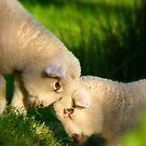 We Know We're Cute & Cuddly...!- Lambs - NZ by AndreaEL