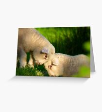 We Know We're Cute & Cuddly...!- Lambs - NZ Greeting Card
