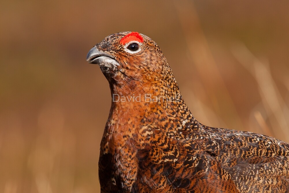 Red Grouse by David Barnes