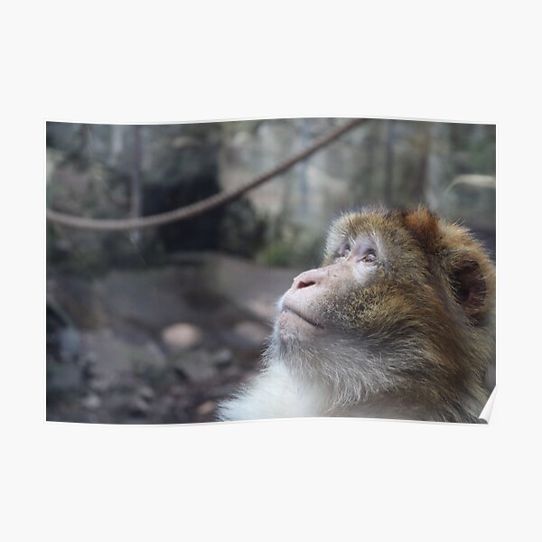 Macaque Poster