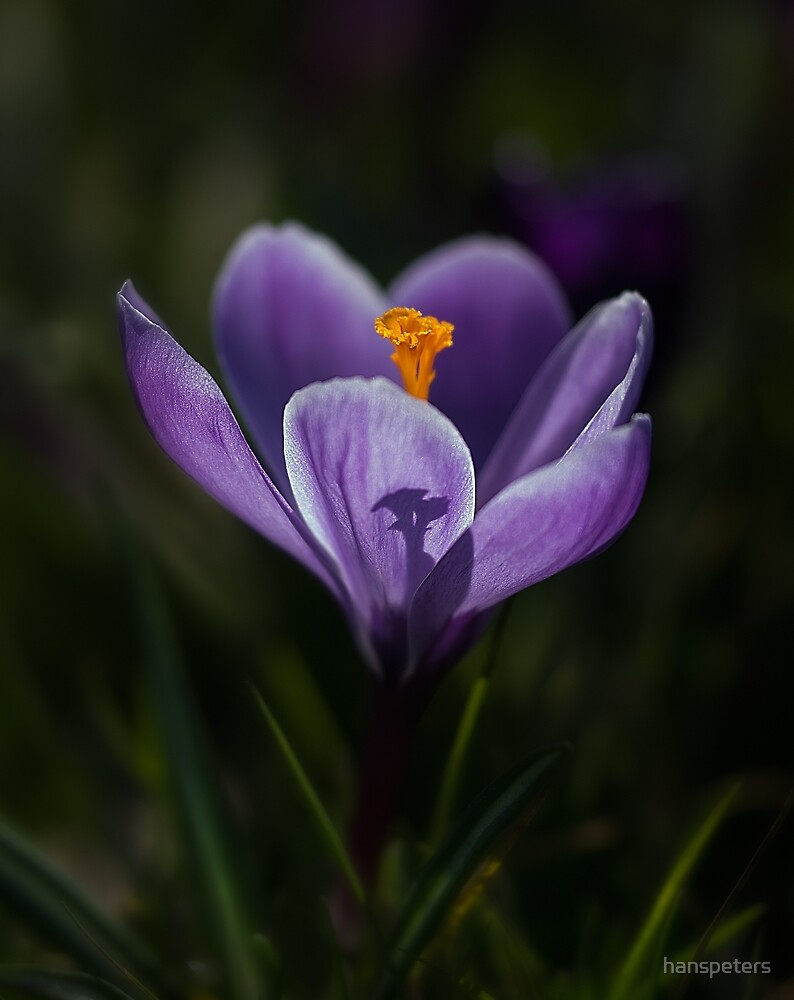 Crocus by hanspeters