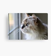Blue Eye Cat Canvas Print