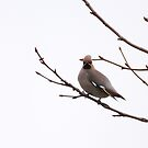 Waxwings rest by miradorpictures
