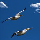 Two White Pelicans in Flight by TJ Baccari Photography