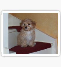 havanese puppy on stair Sticker