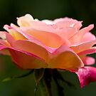 Pink Rose by JeniNagy