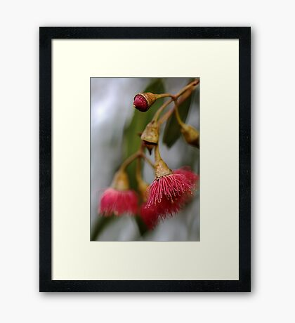 Aussie Native - Flowering Gum Framed Print
