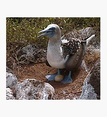 Blue-Footed Booby Photographic Print