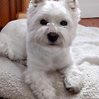 Maevey the Westie by Nicholas Richardson
