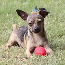 Chihuahua and ball by SANDRA BROWN