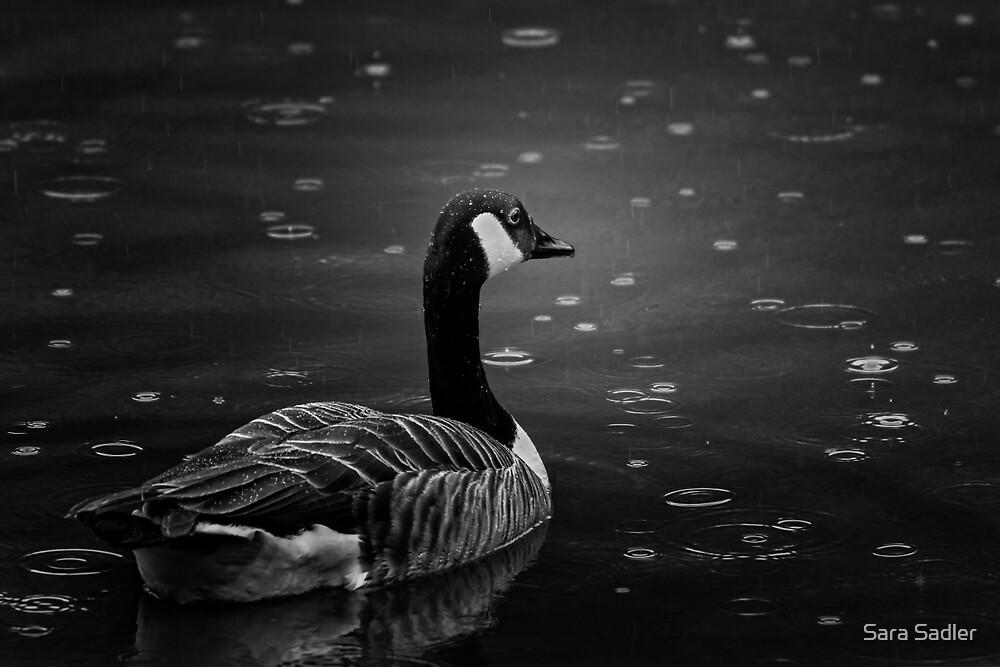 Canada Goose in the rain by Sara Sadler