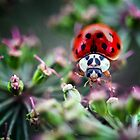 close up of a ladybird by Sara Sadler