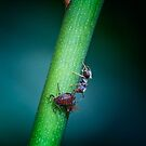 The Ant and the Aphid by Sara Sadler
