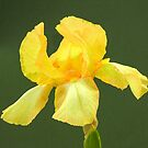 Yellow Bearded Iris by DPalmer