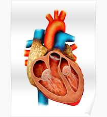 Anatomy of human heart, cross section. Poster