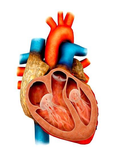 Láminas fotográficas «Anatomía del corazón humano, sección ...