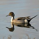 Pintail Duck  by CarolM