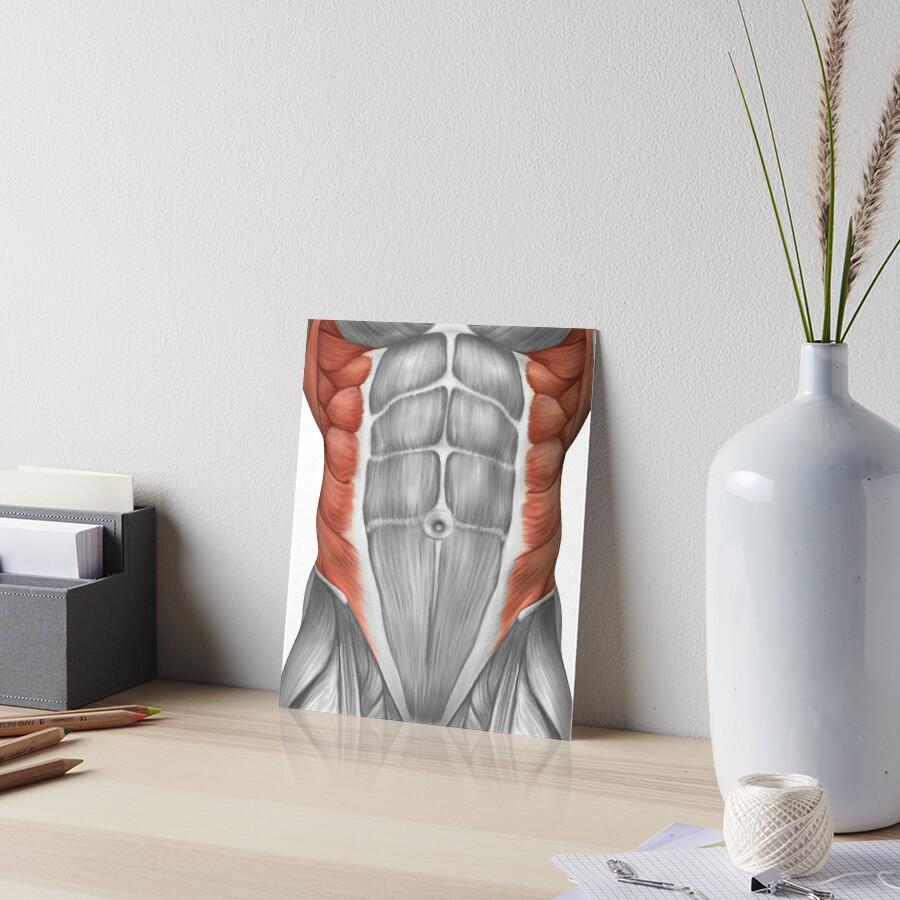 Láminas de exposición «Anatomía muscular masculina de la pared ...