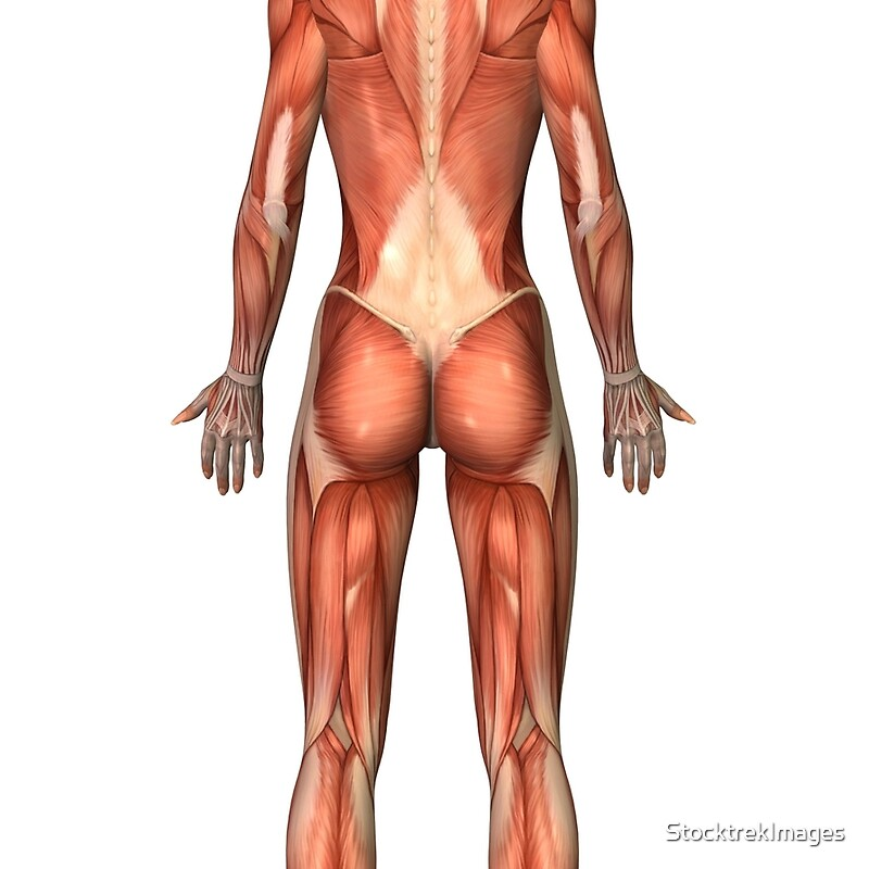 Atractivo Vista Posterior Sistema Muscular Friso - Anatomía de Las ...