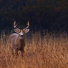 In Autumns Fields - White-tailed deer Buck by Jim Cumming