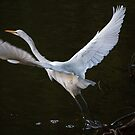 The Graceful Great White Egret by CarolM