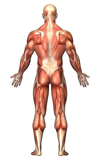 Láminas fotográficas «Anatomía del sistema muscular masculino, vista ...