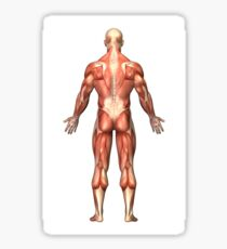 Anatomy of male muscular system, back view. Sticker