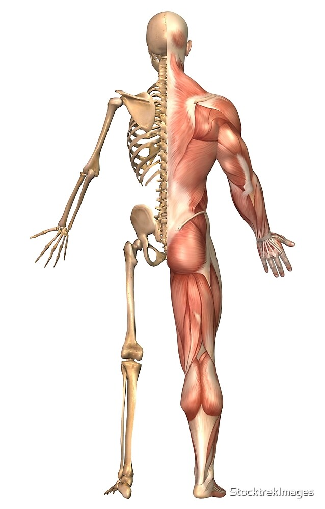 The Human Skeleton And Muscular System Back View By