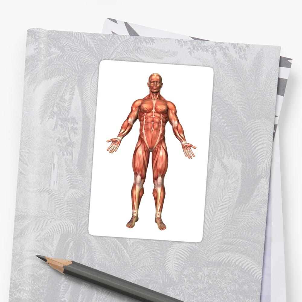 Pegatinas «Anatomía del sistema muscular masculino, vista frontal ...