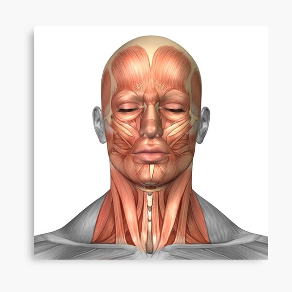 Anatomy of human face and neck muscles, front view. Canvas Print