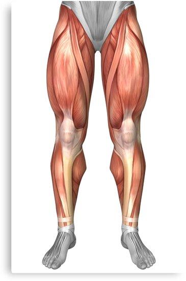 Lienzos «Diagrama que ilustra los grupos musculares en el frente de ...