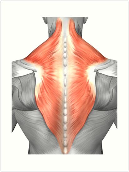 Láminas artísticas «Músculos de la espalda y el cuello.» de ...