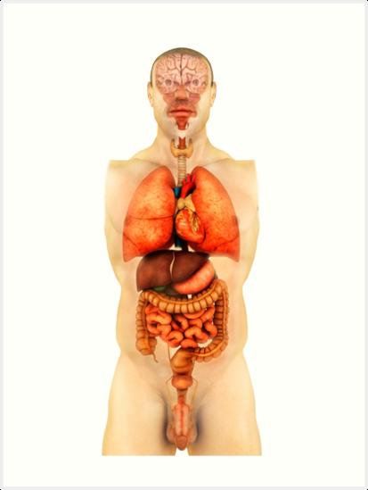 Láminas artísticas «Anatomía del cuerpo humano mostrando órganos ...