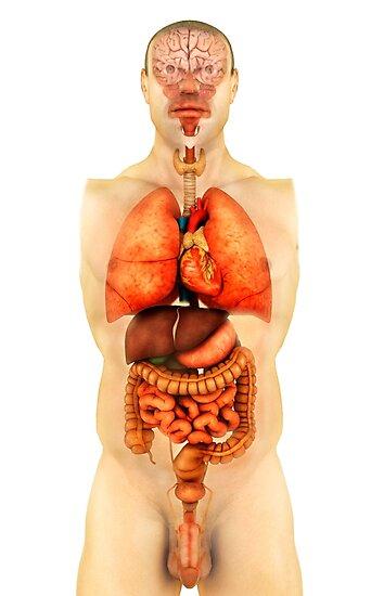 Láminas fotográficas «Anatomía del cuerpo humano mostrando órganos ...