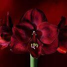 Ruby Red Amaryllis by Ann Garrett