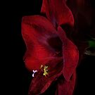 Ruby Red Amaryllis 2 by Ann Garrett