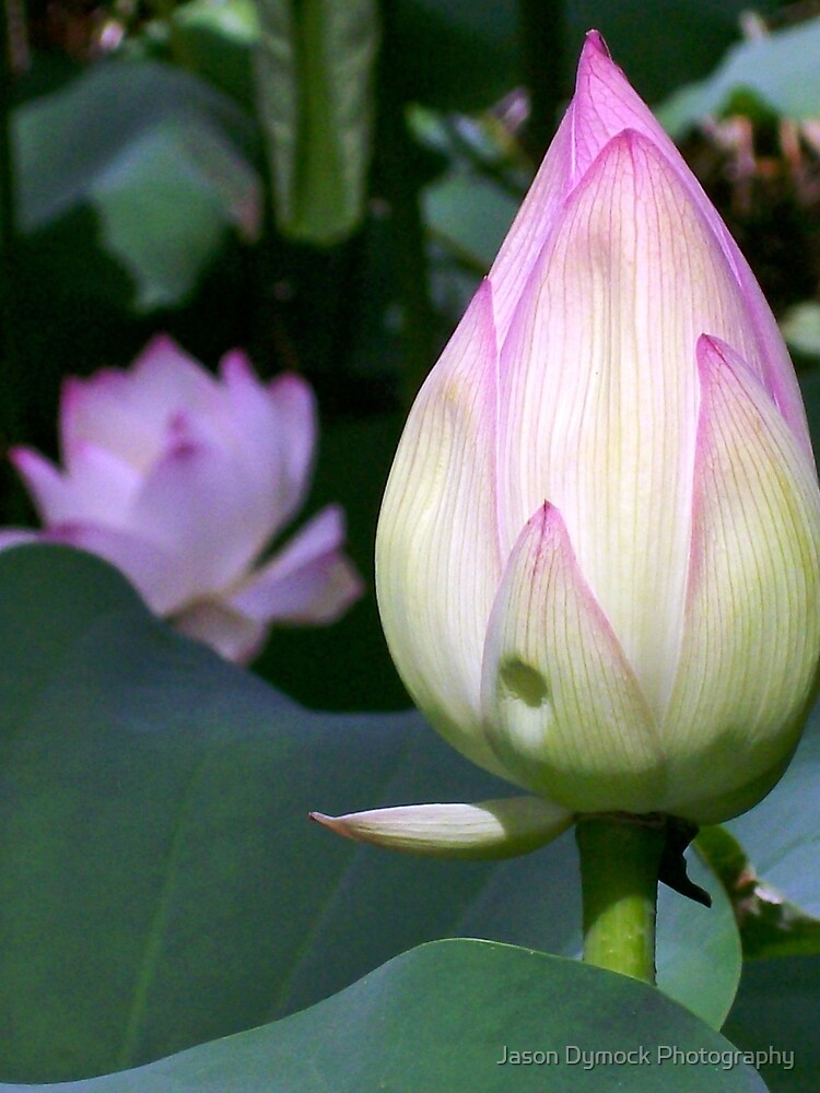 Lotus Bud by Jason Dymock Photography