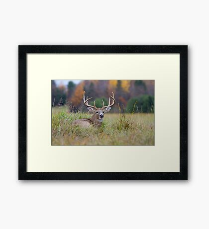 Autumn in Canada - White tailed deer Buck Framed Print