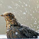 Bathing Blackbird - Juvenile by AndreaEL