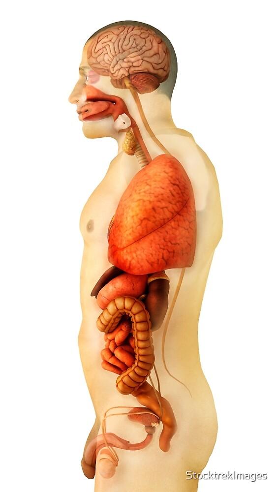 Anatomía del cuerpo humano mostrando órganos completos, vista ...