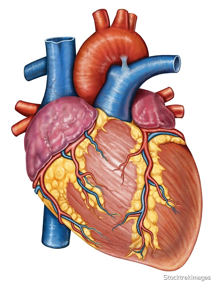 Gross Anatomy Of The Human Heart By Stocktrekimages Redbubble