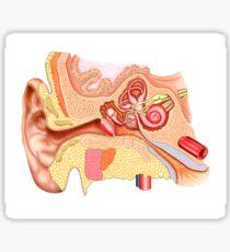 Anatomy of human ear. Sticker