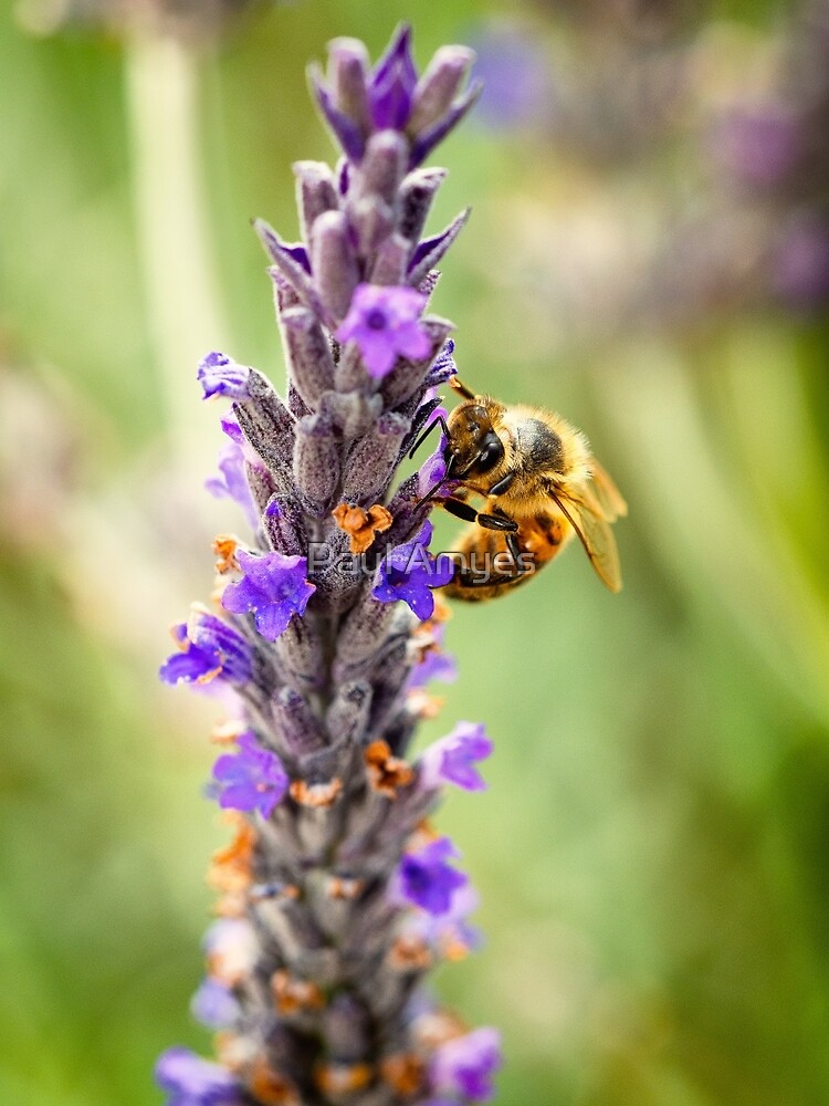 «Honey Bee» par AmyesPhotograph