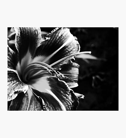 Black and White Lily Photographic Print