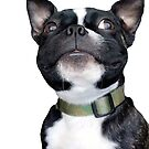 Boston Terrier by Borisr55